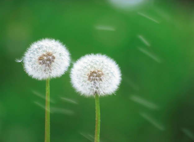 Don't just wish upon a Dandelion