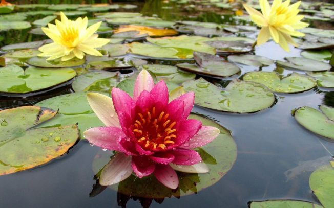 Living Like the Lotus Flower