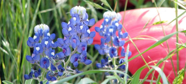 Texas spring flowers the ignite blog we love the gift of sweet texas bluebonnets in the springtime mightylinksfo